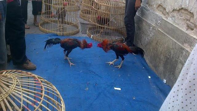Mengintip Tempat Latihan Ayam Petarung Di Kota Lama Semarang